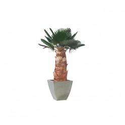 Вашингтония Пальма пордезан.лист. 140 зеленый