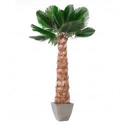 Вашингтония Пальма пордезан.лист. 240 зеленый
