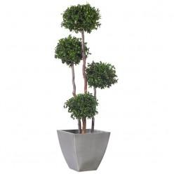 Питоспорум дерево 4 шар
