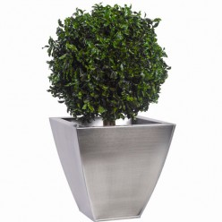 Питоспорум дерево шар. 30см / 40см