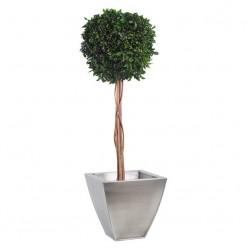 Питоспорум дерево ствол.шар. 30см / 100см
