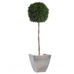 Питоспорум дерево ствол.шар. 45см