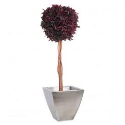 Питоспорум дерево ствол.шар. 30см