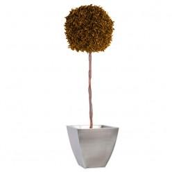 Питоспорум дерево ствол.шар. 45см / 140см