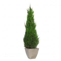 Стардаст дерево зеленый