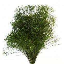 Брум зеленый