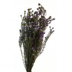 Котон Филика фиолетовый