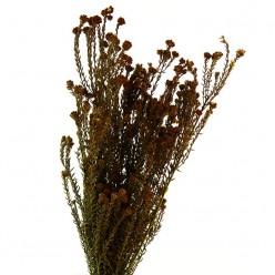 Котон Филика коричневый
