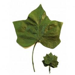 Плющ листья зеленый