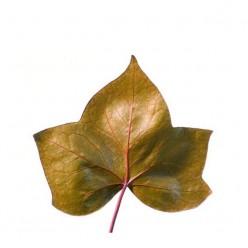 Плющ листья коричневый