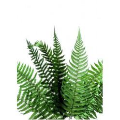 Папоротник Паршеман зеленый