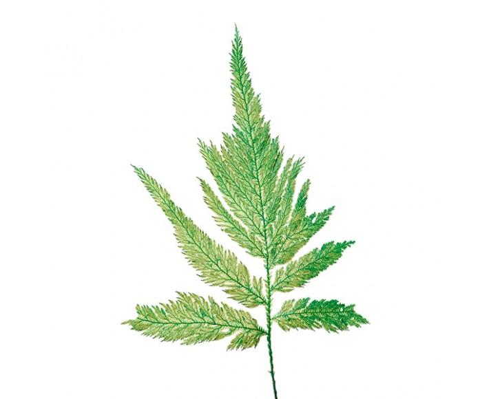 Папоротник Перо зеленый