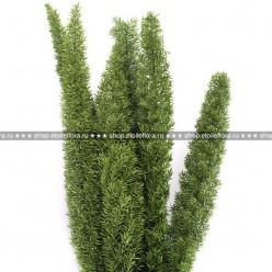 Фокстэйл зеленый