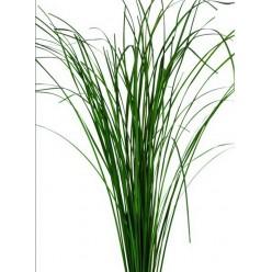 Жинериум трава зеленый 60-80см.