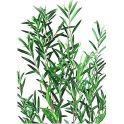 Лепто Лангифолия эвкалипт зеленый