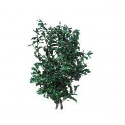 Питоспорум ветви зеленый 1 букет
