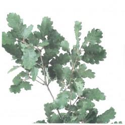 Дуб ветви зеленый